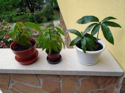 Mangó növények eladók
