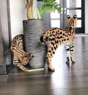 F1 Savannah cica örökbefogadásra