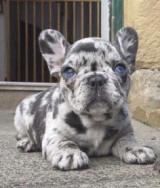 Francia bulldog kölyökkutyák örökbefogadásra.