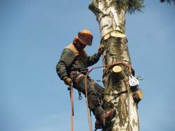 Fakivágás favágás veszélyes fák kivágása a Balaton déli partján
